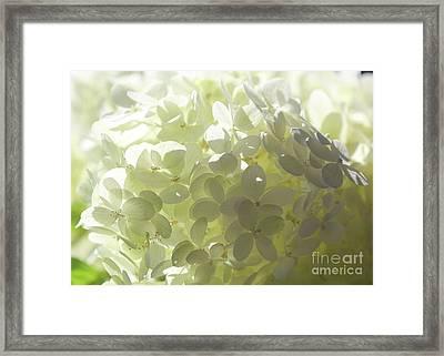 Light Within White Flowers Framed Print by Carol Groenen