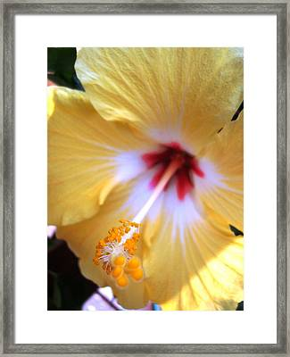 Light Yellow Hybiscus Framed Print by Laura  Grisham