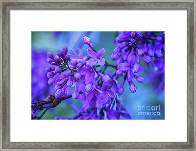 Lilac Blues Framed Print