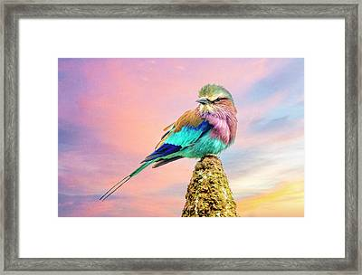 Lilac Breasted Roller At Sunset Framed Print