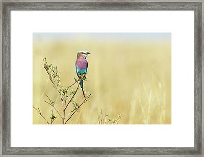 Lilac-breasted Roller (coracias Caudata) Framed Print