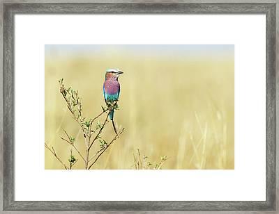 Lilac-breasted Roller (coracias Caudata) Framed Print by Elliott Neep