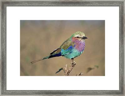 Lilac-breasted Roller Coracias Caudata Framed Print by Gerry Ellis