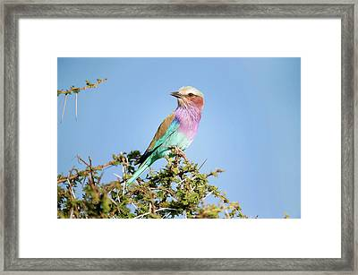Lilac-breasted Roller In A Thorn Bush Framed Print by Science Photo Library