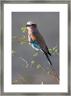 Lilac-breasted Roller Framed Print by Johan Elzenga