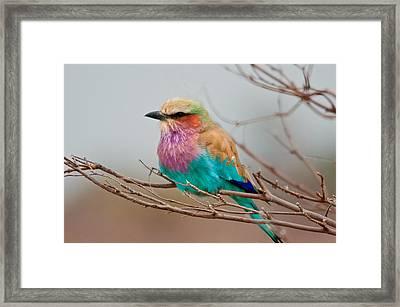 Lilac-breasted Roller Framed Print by John Klingel