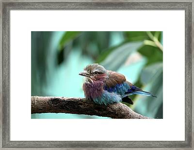Lilac Breasted Roller Framed Print by Karol Livote
