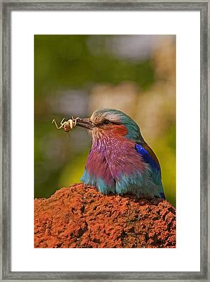 Lilac Breasted Roller Framed Print by Paul Scoullar