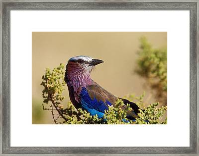 Lilac Breasted Roller Framed Print by Sandra Bronstein