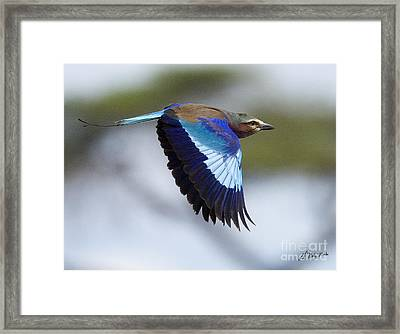 Lilac-breasted Roller-signed Framed Print