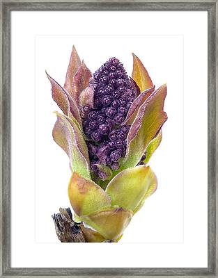 Lilac Bud Framed Print by Jim Hughes