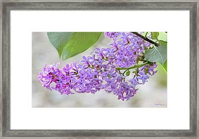 Lilac Cluster Framed Print