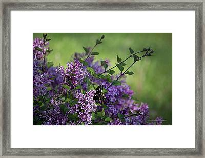Lilac Enchantment Framed Print by Karen Casey-Smith