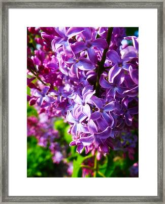 Lilac In The Sun Framed Print