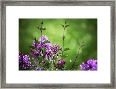 Lilac Memories Framed Print by Karen Casey-Smith
