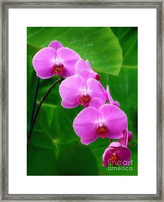 Lilac Orchid Beauties Framed Print by Sue Melvin