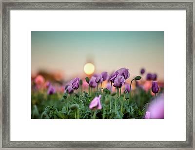 Lilac Poppy Flowers Framed Print