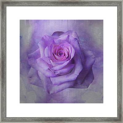 Lilac Purple Rose Framed Print