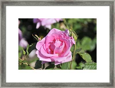 Lilac Rose 2 Framed Print by Rudolf Strutz