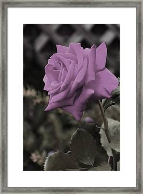 Lilac Rose Framed Print by Vijay Sharon Govender