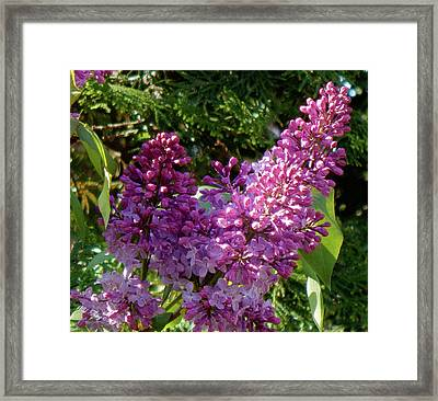 Lilac Spring Framed Print by Wild Thing