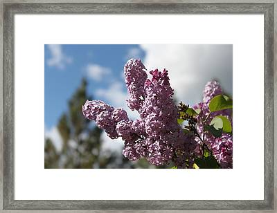 Framed Print featuring the photograph Lilacs 5547 by Antonio Romero