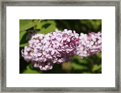 Framed Print featuring the photograph Lilacs 5549 by Antonio Romero