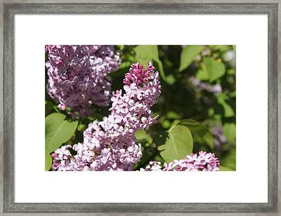 Framed Print featuring the photograph Lilacs 5552 by Antonio Romero