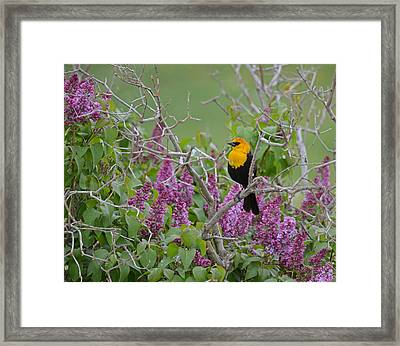 Lilacs And Yellowhead Blackbirds Framed Print