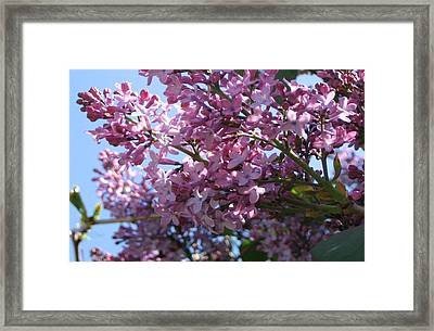 Lilacs In Bloom 2 Framed Print by Barbara Yearty