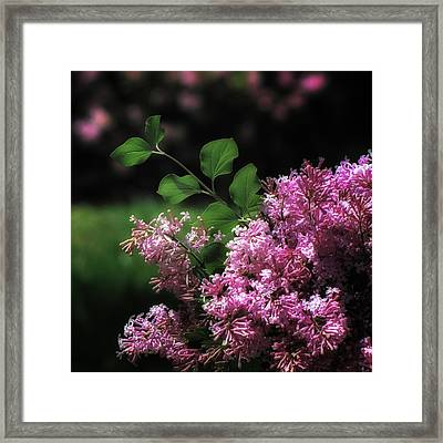 Lilacs In Bloom Framed Print