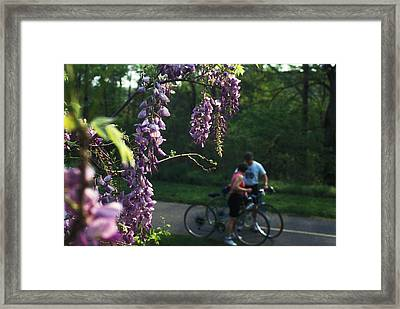 Lilacs In Bloom Framed Print by Carl Purcell