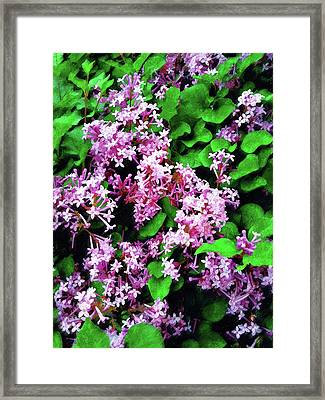 Framed Print featuring the painting Lilacs In May by Sandy MacGowan