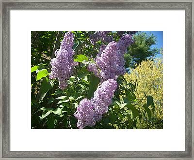 Lilacs  Framed Print by Lisa Roy