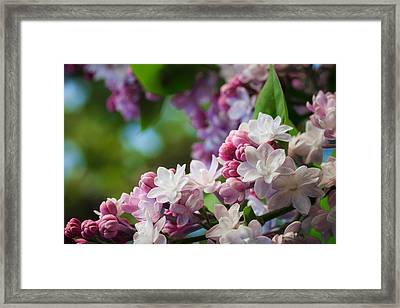 Lilacs Of Spring Framed Print