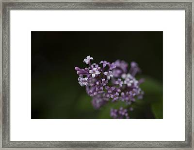 Lilacs2 Framed Print by Liz Howerton