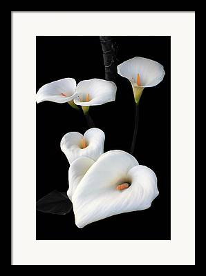 Open Green Calla Lilly Framed Prints