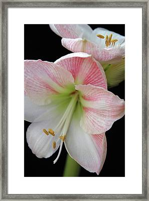 Lilies Framed Print by Ginette Thibault