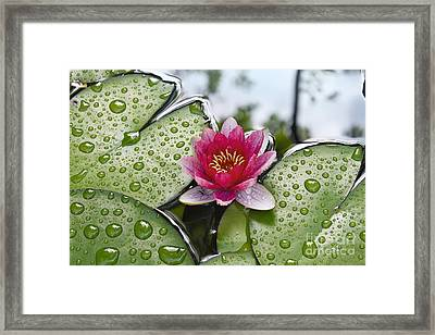 Lilies No. 5 Framed Print