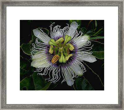 Lilikoi Passion Fruit Framed Print