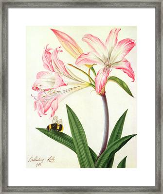 Lilium Belladonna And Bee Framed Print by Matilda Conyers