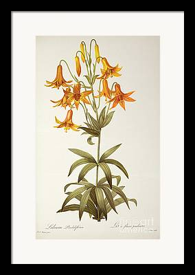 Lilium Framed Prints