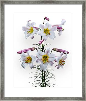 Lilium Regale Framed Print by Jane McIlroy