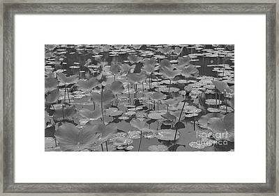 Lily Bed Framed Print
