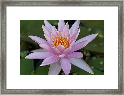 Lilly In Pink Framed Print