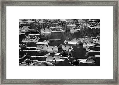 Lilly Pond  Framed Print