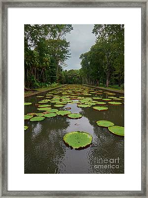 Lily Ponds At Pamplemousse Framed Print