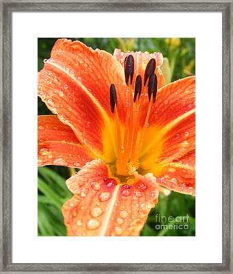 Framed Print featuring the photograph Lily After The Rain by Lila Fisher-Wenzel
