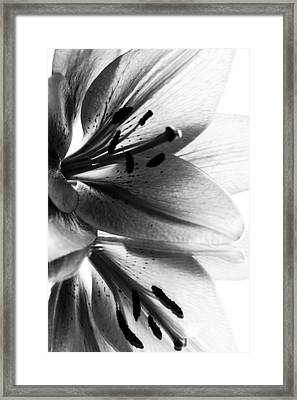 Lily Flower Framed Print by Fine Arts