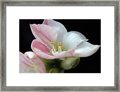 Lily Framed Print by Ginette Thibault